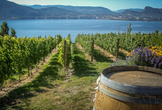rows of grapes and a wine barrel with lake okanagan in the background