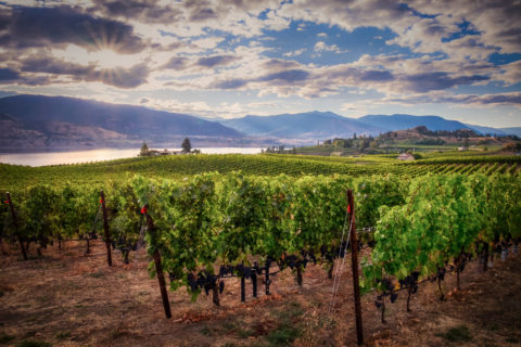 a vineyard with grapevines and Okanagan lake in the background during the photography workshop