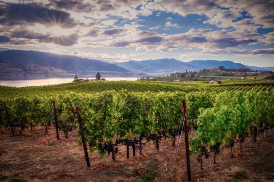 The stunning vista of the Okanagan Valley opens up behind rows of grapevines in the foreground