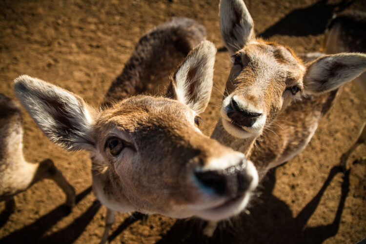 this photograph of deer with a wide angle lens makes them seem like they're right in your face