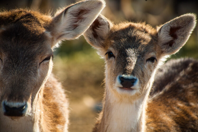 with a long camera lens, the look and feel of the deer subject looks completely different.