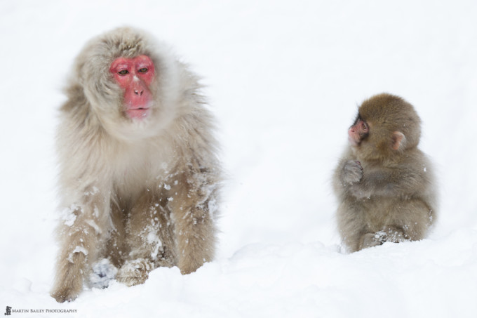 A Young Snow Monkey looks on as an adult shakes snow from its head.