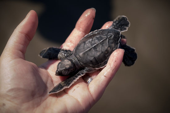photographing sea turtle release