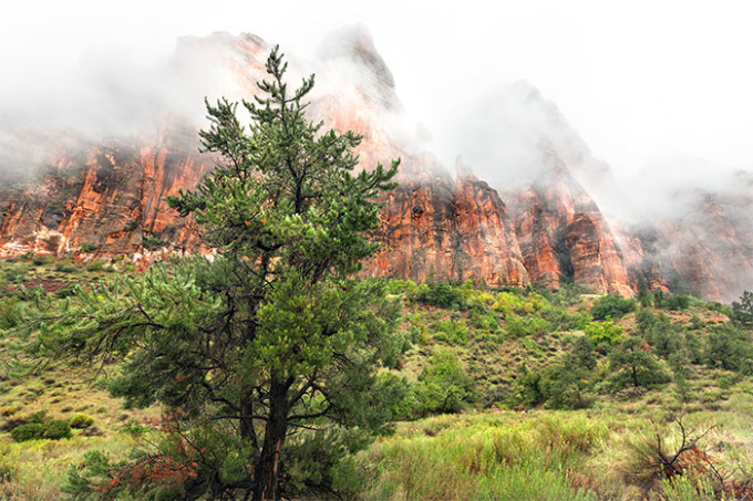 zion national park tree in fog