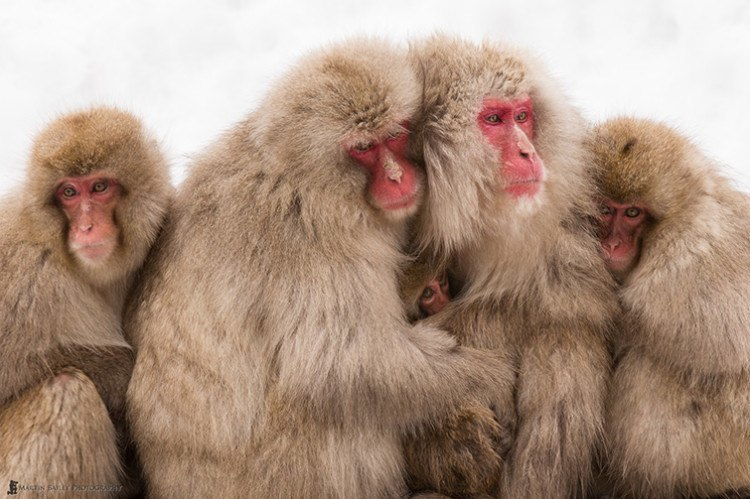 Martin's favorite photo of a group of snow monkeys, taken in Japan
