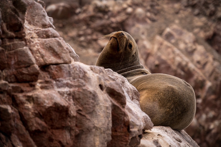 Sea lions on Balestas Islands