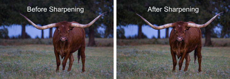 Sharpening example - before and after photo of Texas Longhorn