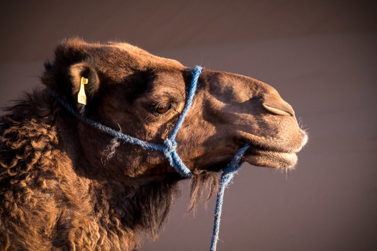 a camel close up from the side