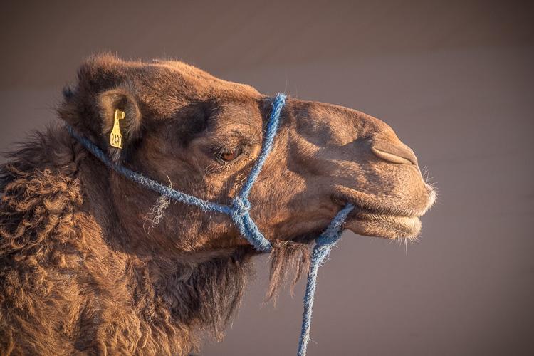 Portrait of a camel, shadows brightened, contrast lowered.