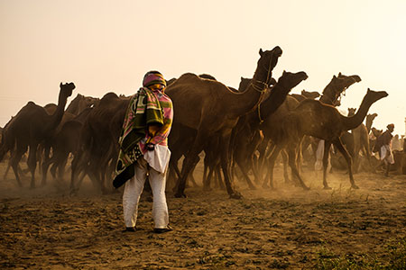 Camel herder early morning in the Pushkar Camel Fair grounds.