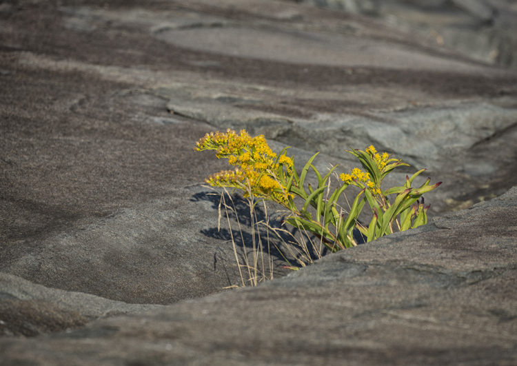 yellow flowers growing in a crack in the rock are shown in contrast to the rocks
