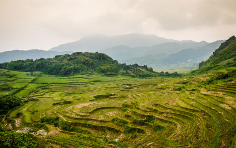 View of typical rice paddy landscape in Vietnam.
