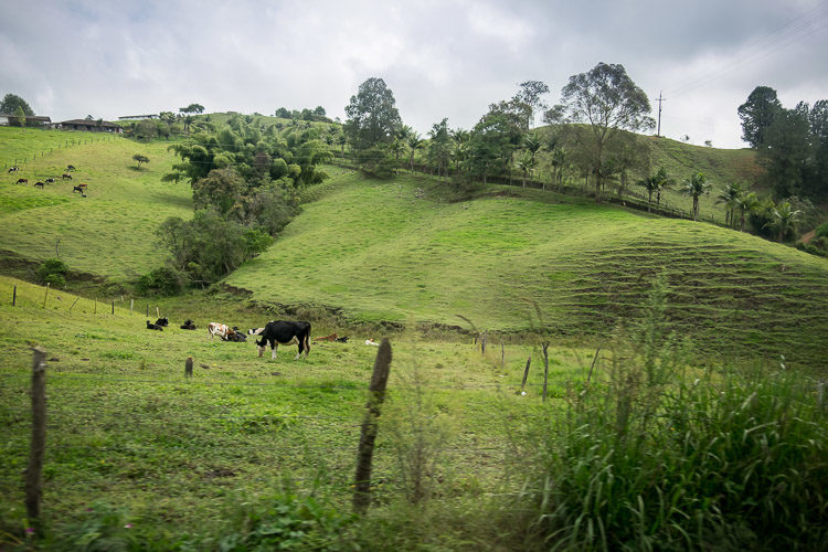 green grass covered open countryside of Colombia with cows grazing
