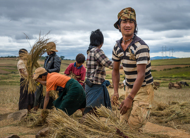 Group of farmers harvesting sticky rice in the countryside of Shan Province Myanmar
