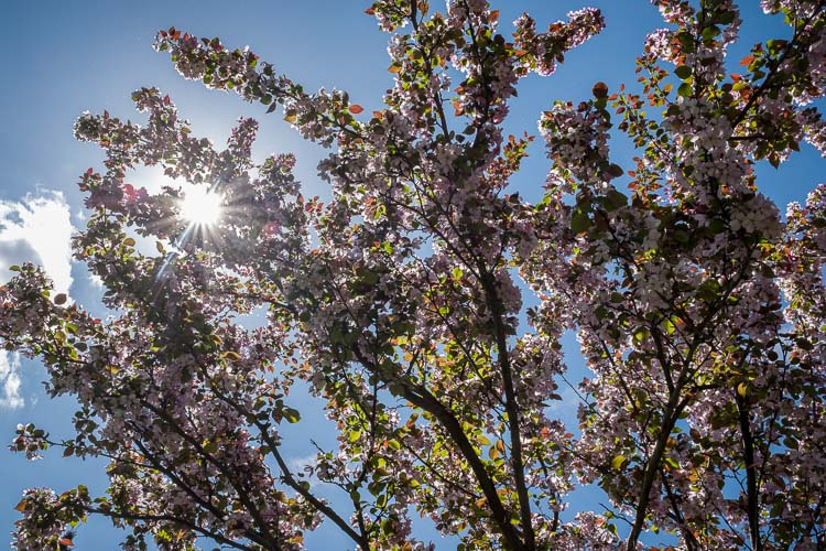 Sun flare and pink flowers and spring photography