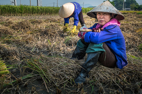 women harvesting rice in vietnam