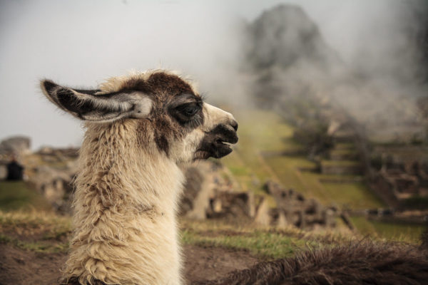 A llama photo bombs the shot at Machu Picchu