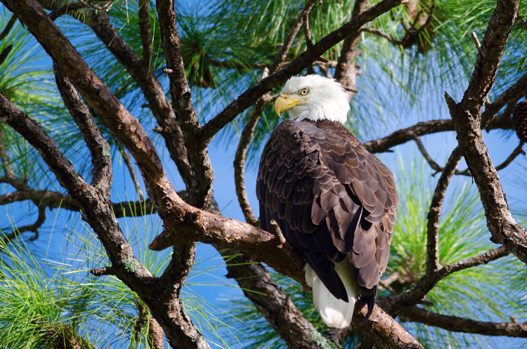 American bald eagle perched in a tree
