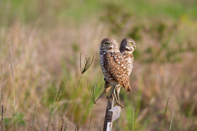 two burrowing owls perched on a wooden sign