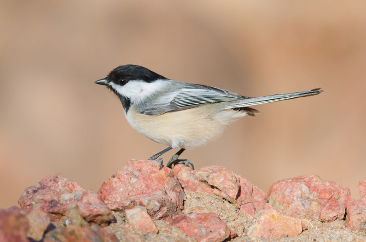 Black-capped Chickadee perched on some rocks