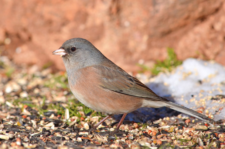 a good lens for beginner bird photography is a long lens. I was able to capture this Dark Eyed Junco in Red Rocks, Colorado with a long lens
