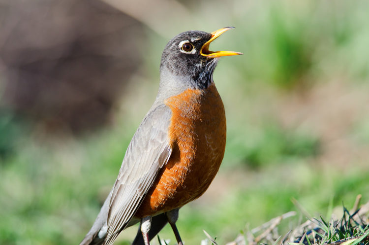 An American Robin photographed singing a song
