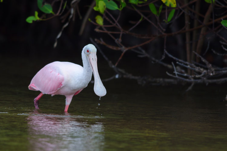 a pink and white spoonbill walking out from the mangroves in Fort Myers Florida, a great place for bird photography