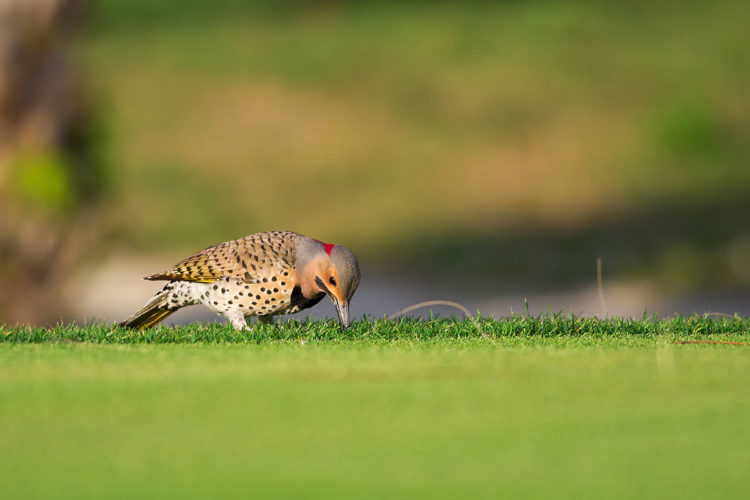 This yellow-shafted northern flicker (Colaptes auratus) is photographed on a golf course in Florida.
