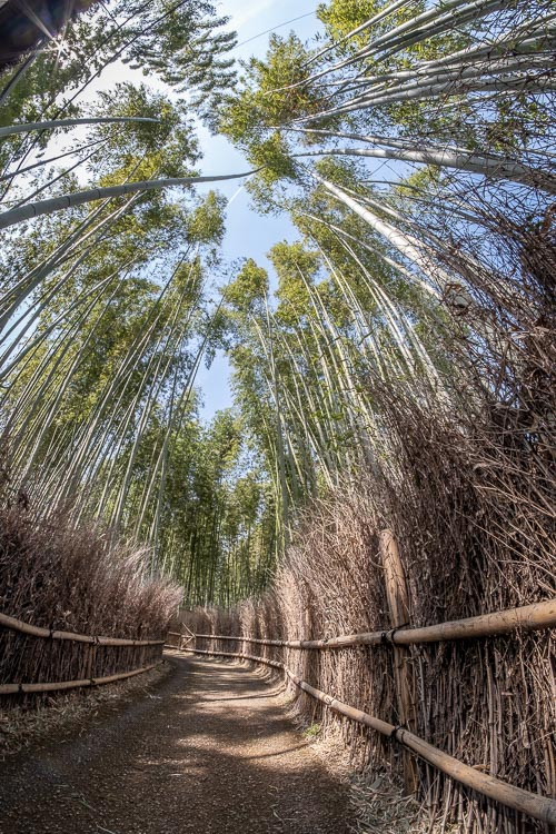 super wide-angle photo of the Japanese bamboo forest showing what looks like the tree tops nearly touching