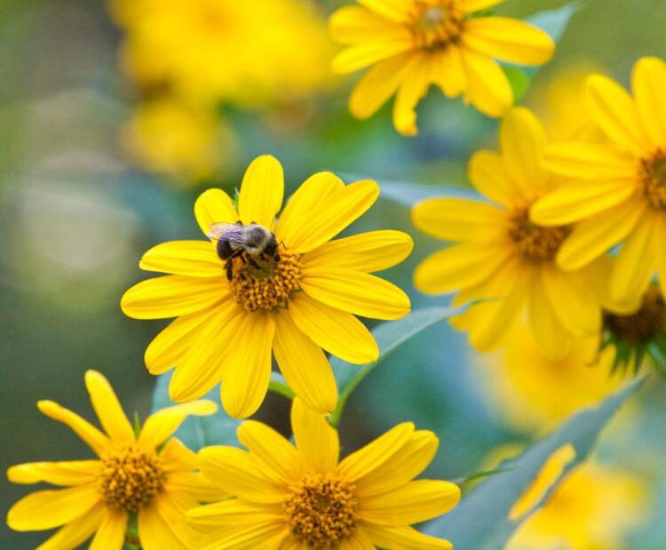 A bee pollinating a yellow wildflower
