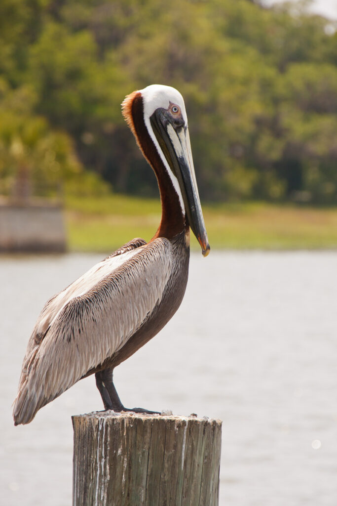 A pelican perching on an old wooden post in a wetland marsh area